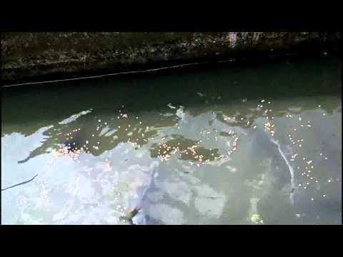 Ikan Raksasa Hidup di Parit Kota