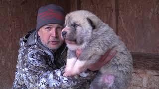 Продаётся щенок западно-сибирской лайки (сука)