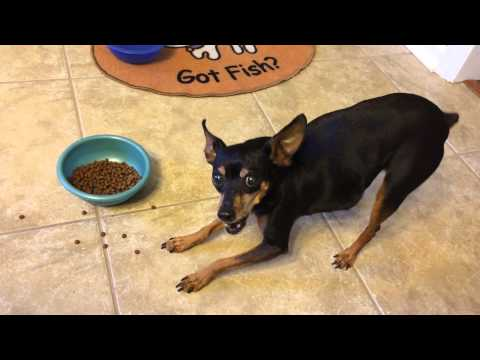 How a miniature pinscher eats