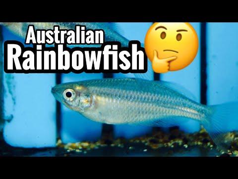 Australian Rainbowfish Tank Care & Species Guide