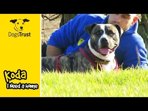 Koda is a Playful American Bulldog Looking to be Adopted | Dogs Trust Leeds