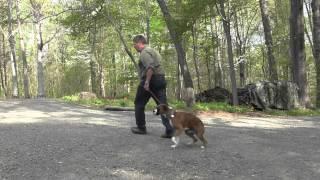 Winston Salem Dog Training | Boxer Puppy Training | Lucy