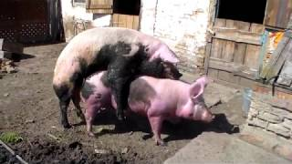 Случка белой свиноматки 20 апреля 2019 год.