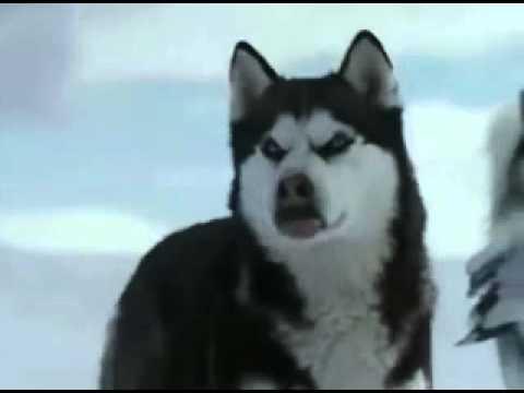 Dailymotion - La passion du Siberian husky - une vidéo Animaux.rv