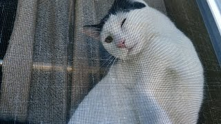 Pancake is the cat behind the curtains + Sugar Tree + Cats are crazy!