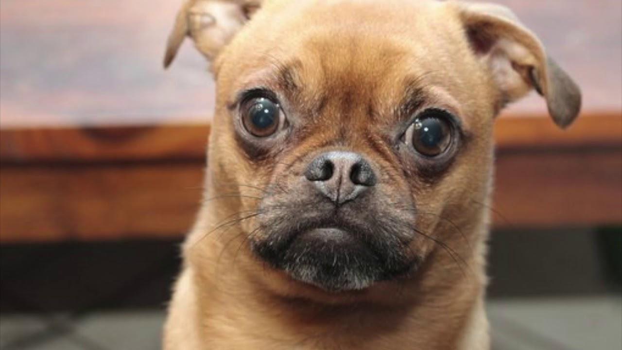 remedios caseros para dolor oido perros