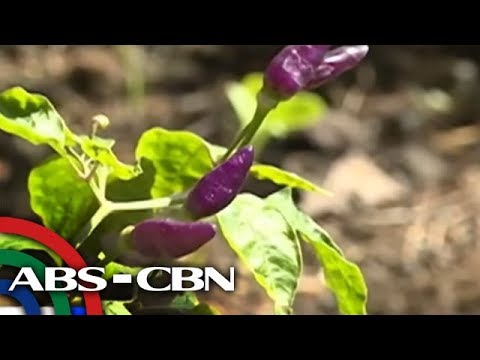 Bandila: Kulay lila na sili, atraksiyon sa Legazpi