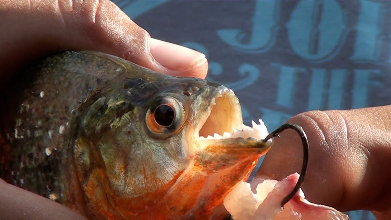 how to buy a piranha