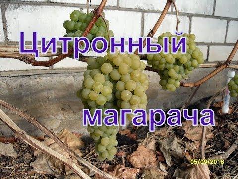 Виноград Беларуси. Лидчина . Сорт винограда -Цитронный магарача.