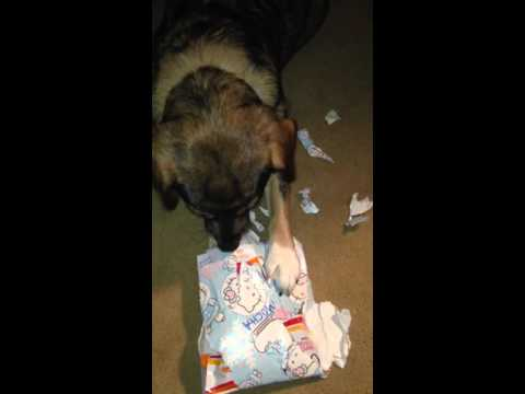 Australian Shepard mix Dog Loves Unwraping Her Christmas Present!