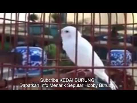 Burung Langka - Blackthroat Albino Super Gacor - Cocok Buat Masteran Pleci