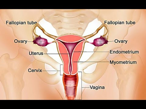 Anatomy Of The Female Vagina   Human Reproductive System Physiology Course