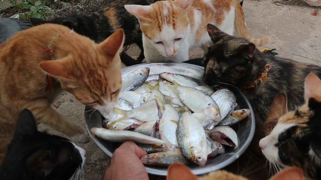 Ginger Cat Fight to Eat Fish - Cats Eating Fish   The Gohan Dog And Cats