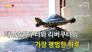 반수생 거북이 리버쿠터와 페닌슐라쿠터의 평범한 하루