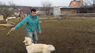 Как научить собаку ловить тарелку (фрисби)!
