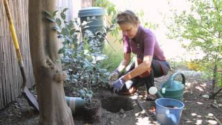 How to Plant Camelias Beautiful Gardens & Plant Care