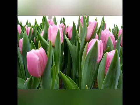 Выгонка тюльпанов на 14 Февраля 2020. Сорта Jumbo pink, De Dijk, Lap top, Striped flag, Pink flag