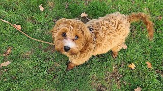 Nelly the 15 week old Cavapoo puppy - 2 Weeks Residential Dog Training