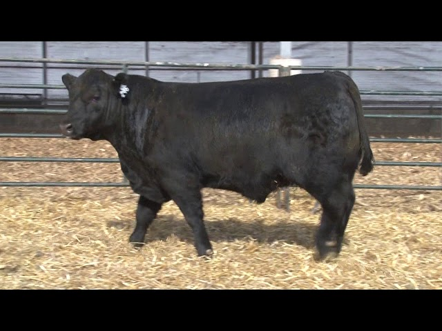 Schiefelbein Angus Farms Lot 246