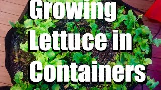 Growing Lettuce in Containers, Easy Harvest and Cold Weather Tips // Growing Your Fall Garden #7