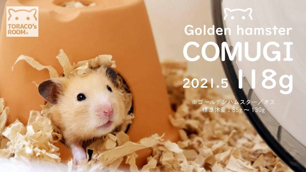 お父さんを超えた息子さん。【ハムスター】/Hamster weight measurement. 2021 Spring.