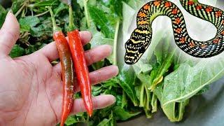 Bài Thuốc Kinh Điển No2: Chữa Rắn Độc cắn từ 3 cây thuốc có sẵn trong vườn nhà