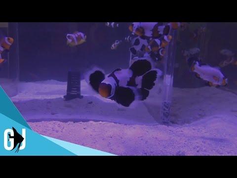 Super DaVinci, Longfin, and Lightning Maroon Clownfish - Sea & Reef Aquaculture
