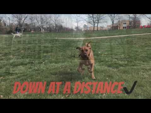5-Month Old Rhodesian Ridgeback, Lucci!  Rhodesian Ridgeback Dog Training | Off Leash K9