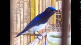 burung Sulingan Laut Super Gacor | Burung Tledekan