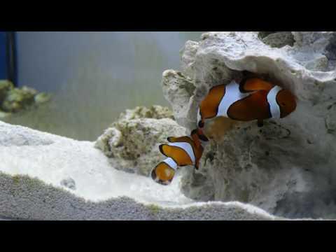 Ocellaris Clownfish Spawning