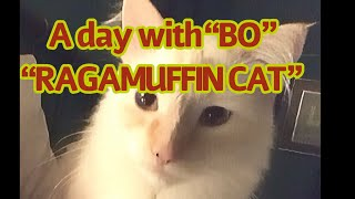 """A Day with """"BO""""  """"RAGAMUFFIN CAT"""" Adorable rare breed"""