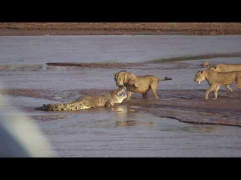 Amazing Video - Lions vs Crocodile Fight