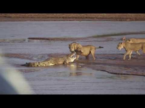 crocodile eats cat  YouTube