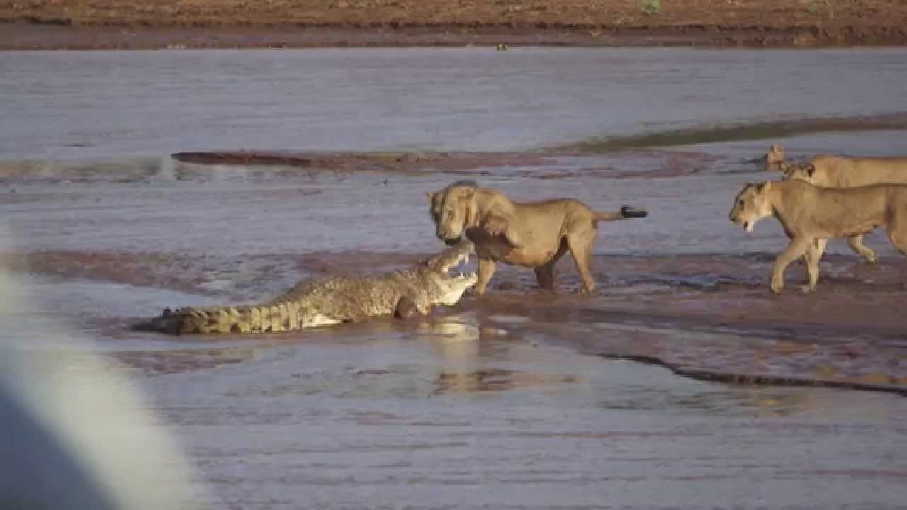 Crocodile vs alligator fight - photo#19