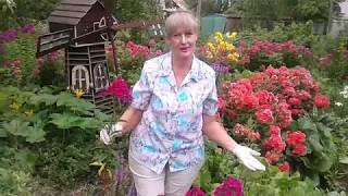 Флоксы летом прореживание ,лилии обрезка .