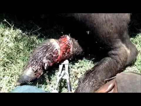 Thumbnail: Injured Buffalo saved from a deadly snare (no lions found in this ranch)
