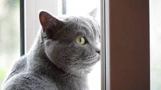 Кот гуляет по квартире (Смотрит в окно)