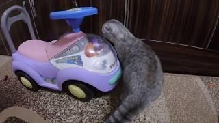 Играем с Кошкой Перьями от Голубей (пахнут птицей) 😻 Шотландская Вислоухая Кошка Хлоя Бесится 🐱
