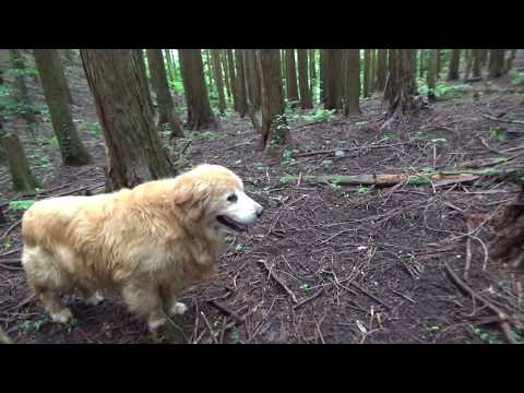 Golden Retrieverとlittle forestをwalking SANPO