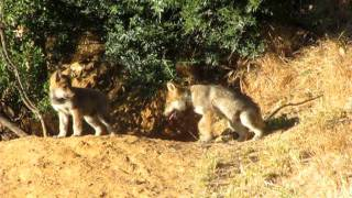 Little Mexican gray wolf pups
