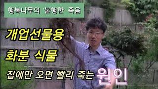 개업선물용화분식물 빨리죽는 이유[행복나무/고사/화분속스…