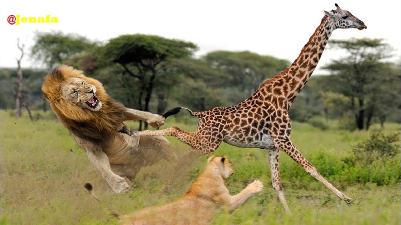 Download Utashangaa Simba 11 Walifeli Kumuwinda Twiga Mbugani Amazing 11 lions fail over a single Girrafe