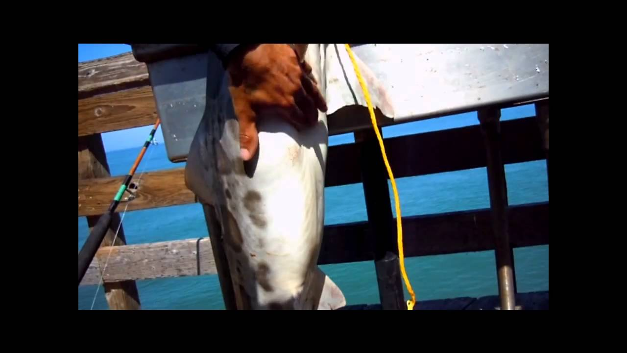 Watch a shark turn into a water dog : videos  |Leopard Shark Babies