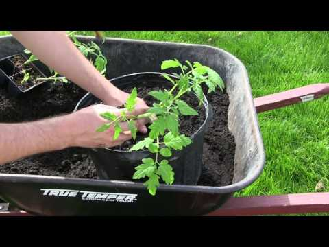 how-to-grow-tomatoes-in-containers---complete-growing-guide