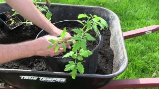 How to Grow Tomatoes In Containers - Complete Growing Guide
