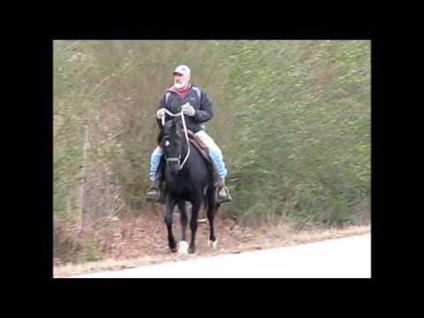 Racking black gelding