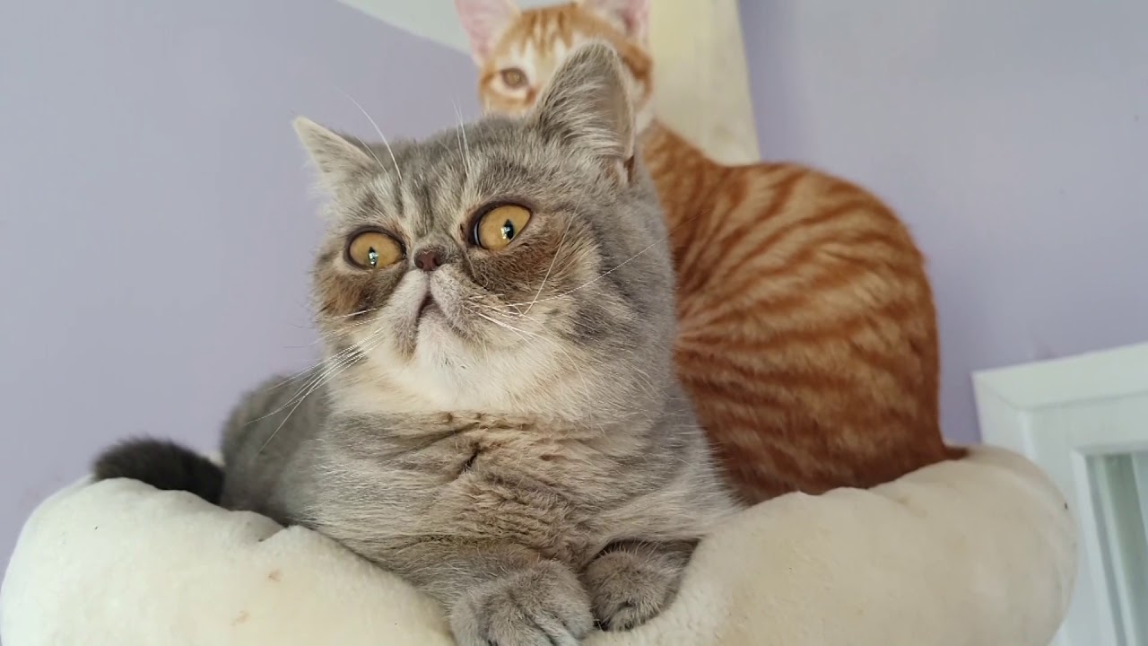 Exotic Shorthair !!! Chat rare !!!