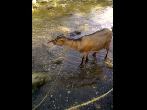 Haiti countryside goat!
