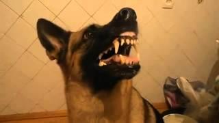 Овчарка корчит морду(Овчарка скалит зубы но, стоит её позвать на прогулку и она сразу становится доброй. Посмотрите как это забав..., 2013-10-10T19:42:10.000Z)