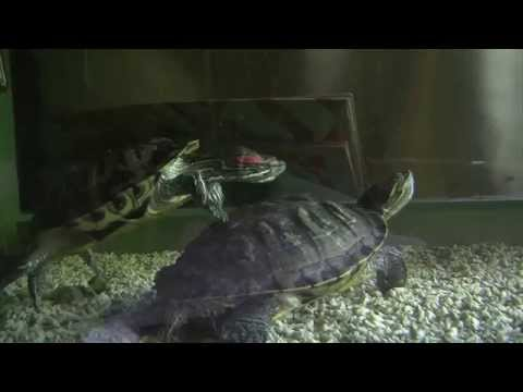 turtles breeding